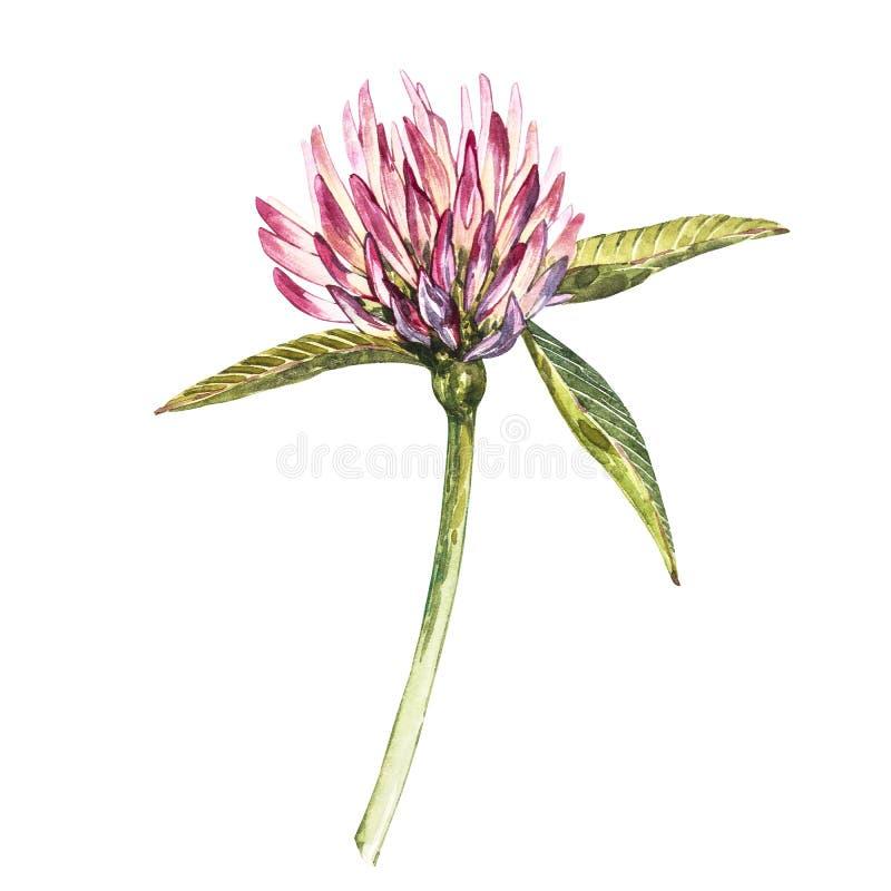 Flor del trébol rojo con las hojas Ejemplo botánico de la acuarela aislado en el fondo blanco Santo feliz Patricks fotografía de archivo