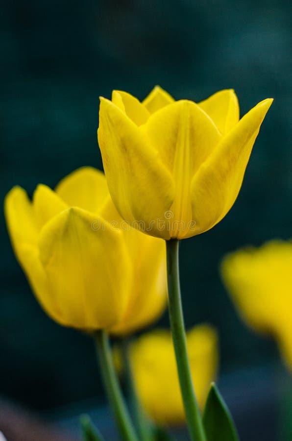 Flor del tulipán fotografía de archivo