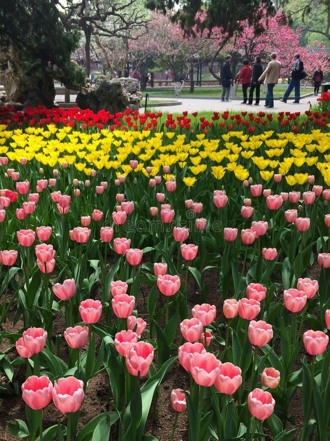 Flor del tulipán fotografía de archivo libre de regalías