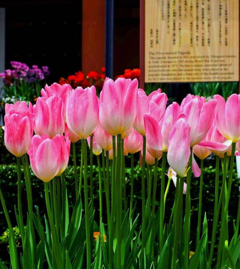 Flor del tulipán en el jardín fotos de archivo libres de regalías