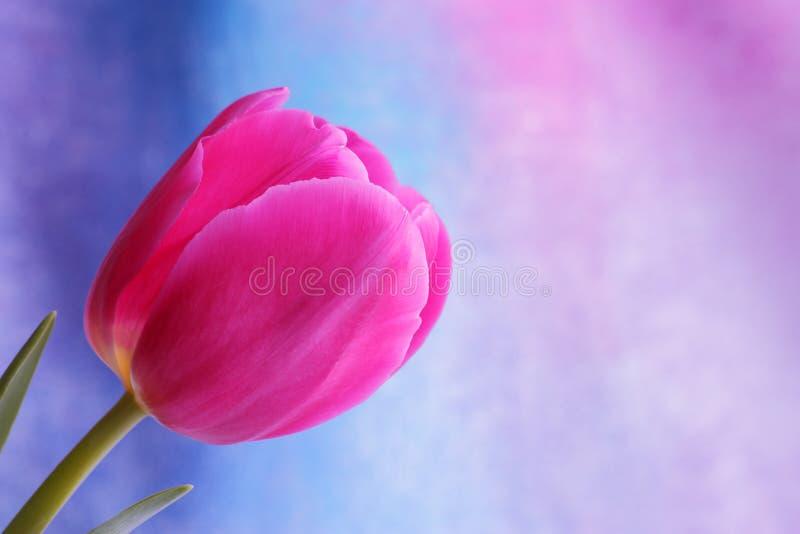 Flor del tulipán: Fotos comunes de las tarjetas del día de San Valentín del día de madres foto de archivo libre de regalías