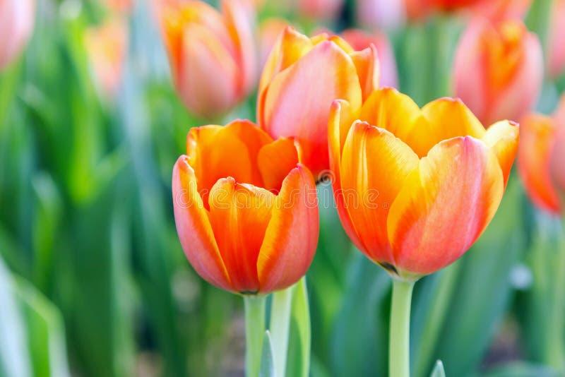 Flor Del Tulipán Los Tulipanes Hermosos En Tulipán Colocan Con El ...