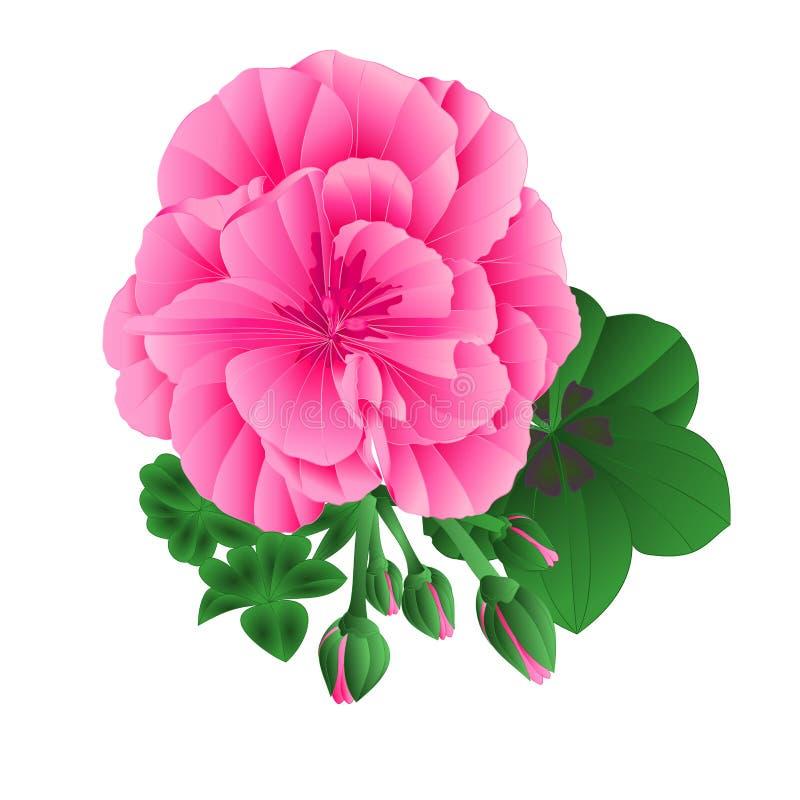 Flor del verano del geranio del Pelargonium y hojas y brotes rosados en los elementos blancos del fondo para el vector del vintag libre illustration