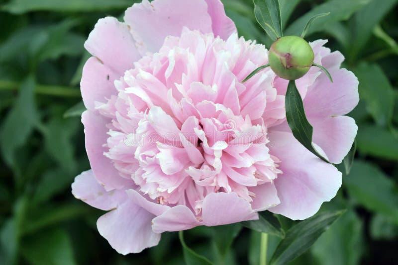 Flor del verano Peone foto de archivo libre de regalías