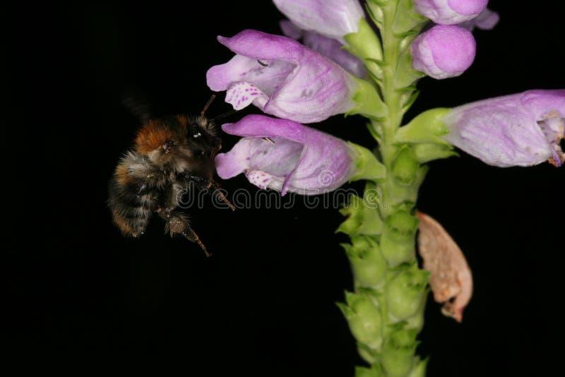 Flor del virginiana del Physostegia de Jumpseed con el abejorro imagen de archivo libre de regalías