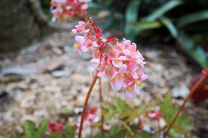 Flor del web' 'Dancing de la begonia fotografía de archivo libre de regalías