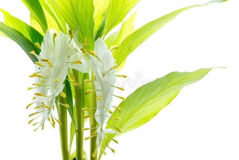 Flor del winitii de Globba imágenes de archivo libres de regalías