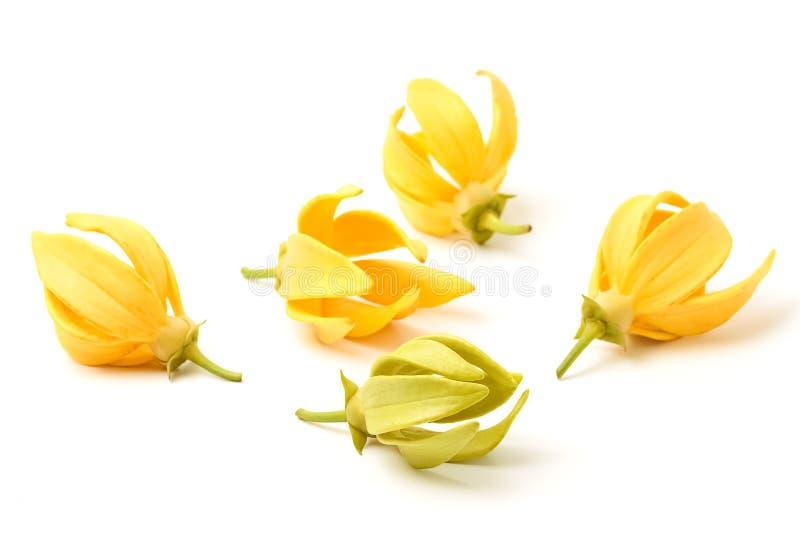 Flor del Ylang-Ylang, flor fragante amarilla fotografía de archivo libre de regalías