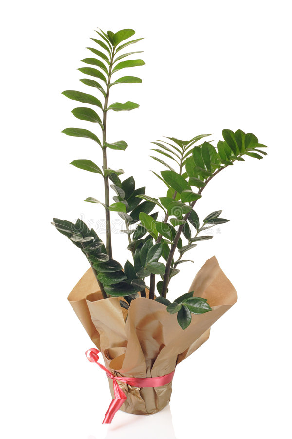 Flor del zamiifolia de Zamioculcas fotos de archivo