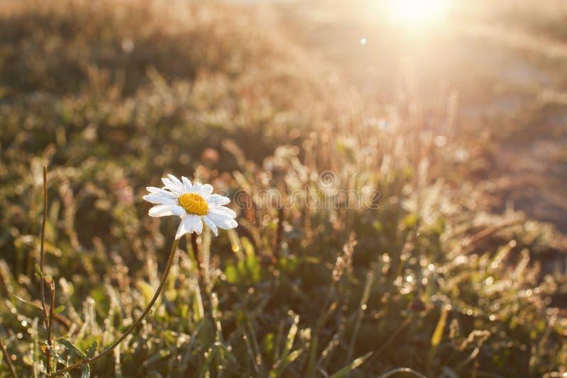 Flor delicada da camomila de campo nas gotas de orvalho no alvorecer nos raios do sol imagens de stock royalty free