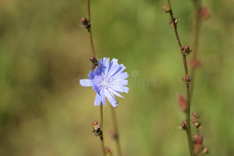 Flor delicada da chicória iluminada pelo sol brilhante do verão imagem de stock