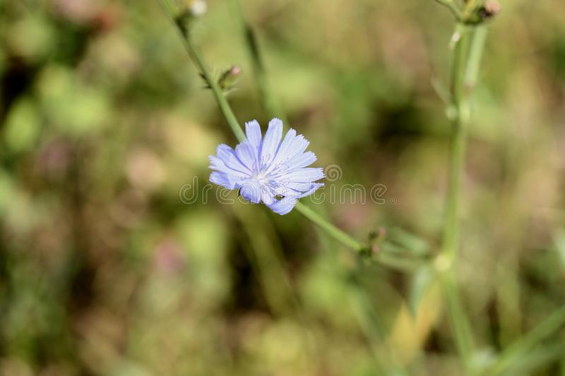 Flor delicada da chicória iluminada pelo sol brilhante do verão imagens de stock