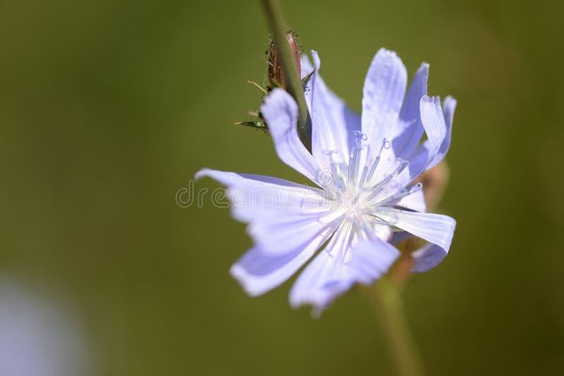 Flor delicada da chicória iluminada pelo sol brilhante do verão imagem de stock royalty free