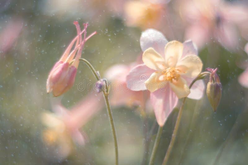 A flor delicada de Aquilegia aumentou na chuva Foco seletivo macio Imagem artística das flores fora imagem de stock royalty free