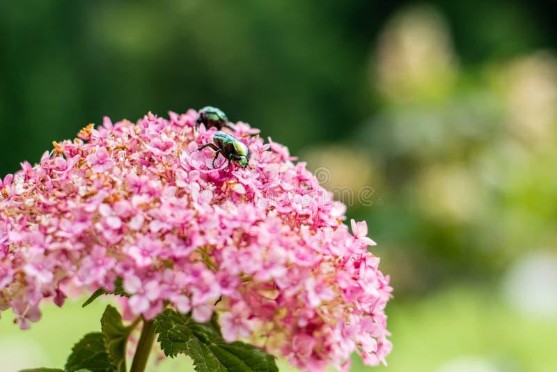 Flor delicada de la hortensia del rosa del primer y escarabajo verde Copie el espacio imagenes de archivo