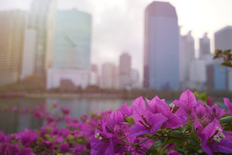 Flor demasiado suavemente rosada de la buganvilla en fondo borroso fotografía de archivo libre de regalías