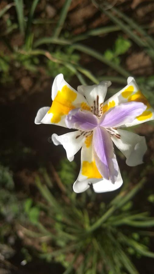 Flor Dietes com fundo natural imagem de stock royalty free