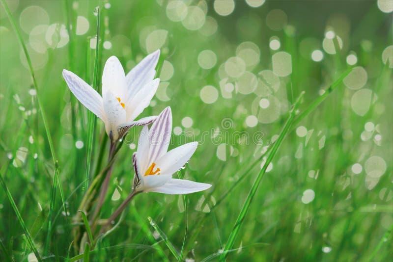 Flor do açafrão da mola em um gramado imagem de stock