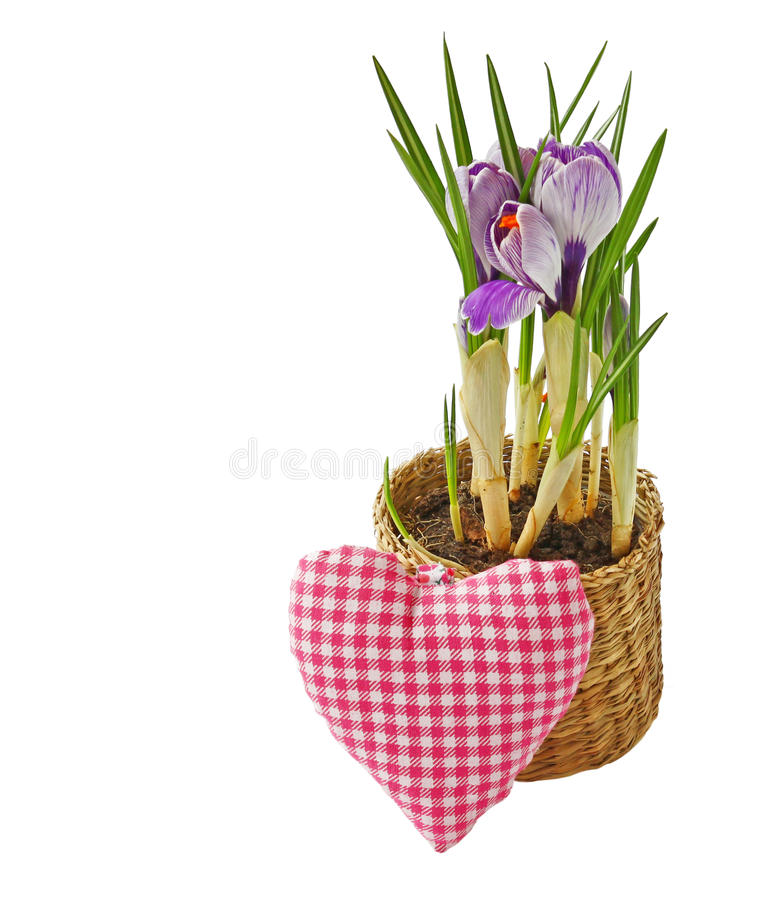 Flor do açafrão no potenciômetro e coração isolado imagens de stock royalty free