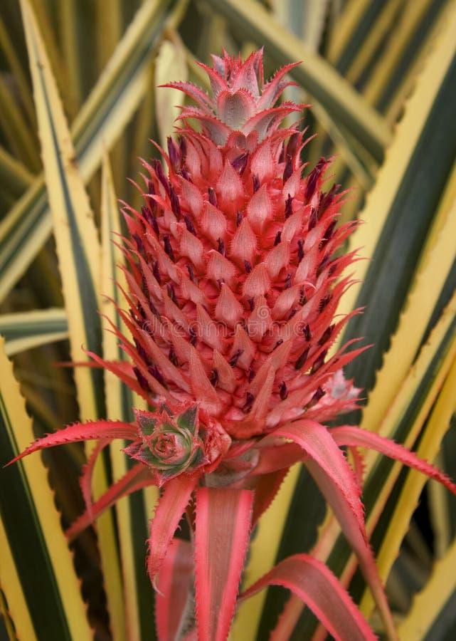 Flor do abacaxi imagem de stock royalty free