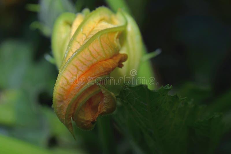 Flor do abobrinha foto de stock