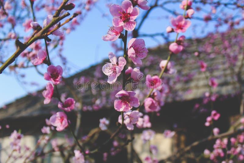 Flor do abricó fotos de stock