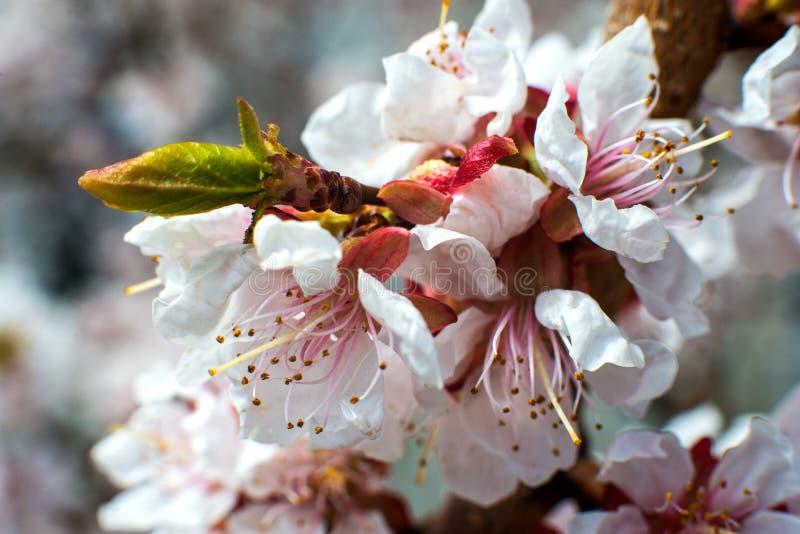 Flor do abric? flores branco-cor-de-rosa em uma ?rvore completamente desencapada do destilador fotos de stock
