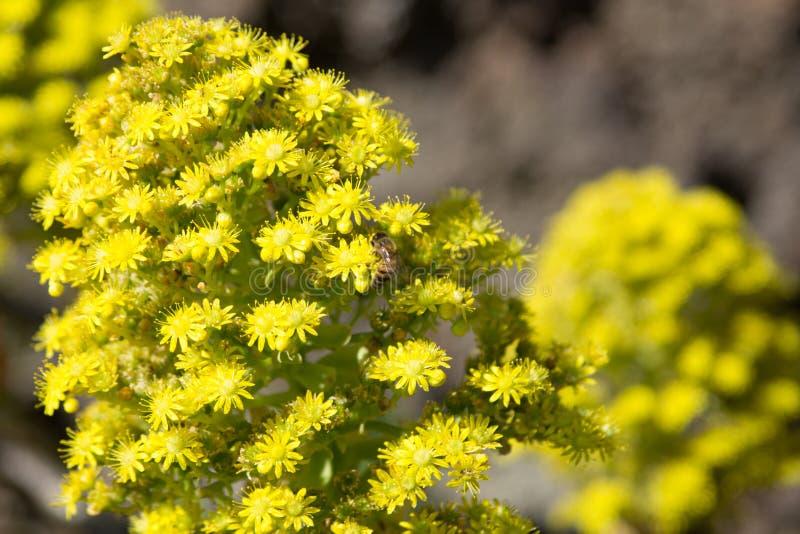 Flor do Aeonium fotografia de stock