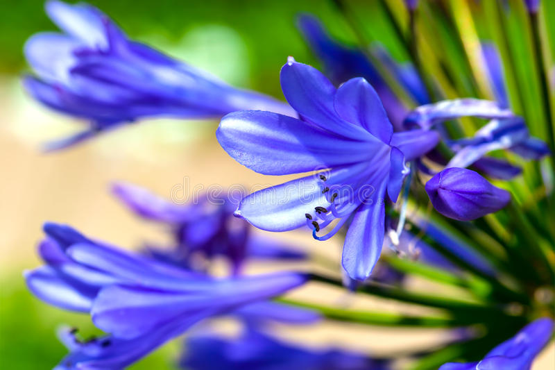 Flor do Agapanthus imagem de stock royalty free