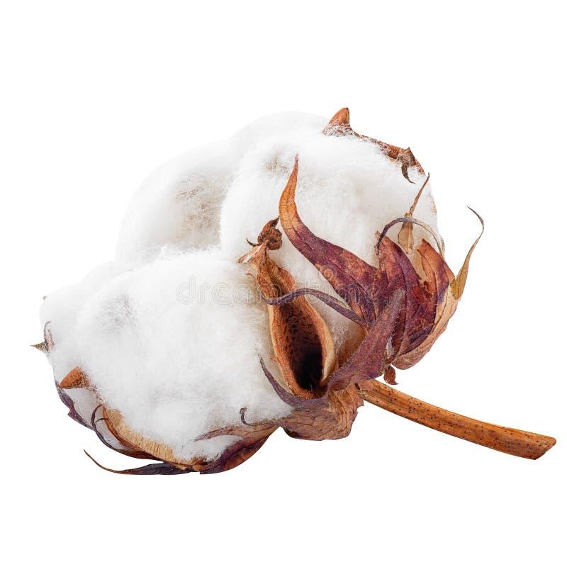 Flor do algodão isolada imagem de stock royalty free