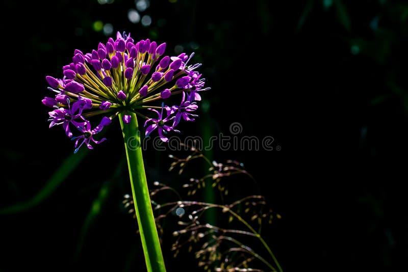 Flor do alho-porro fotografia de stock royalty free