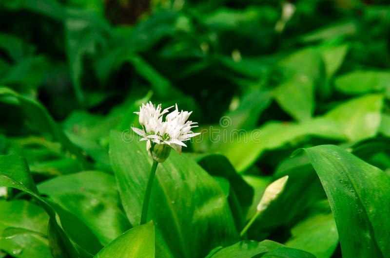 Flor do alho selvagem fotos de stock