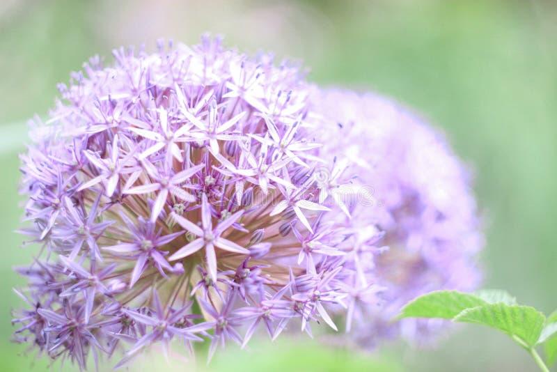 a flor do allium lilás no fundo verde floresce no jardim, imagem de stock royalty free