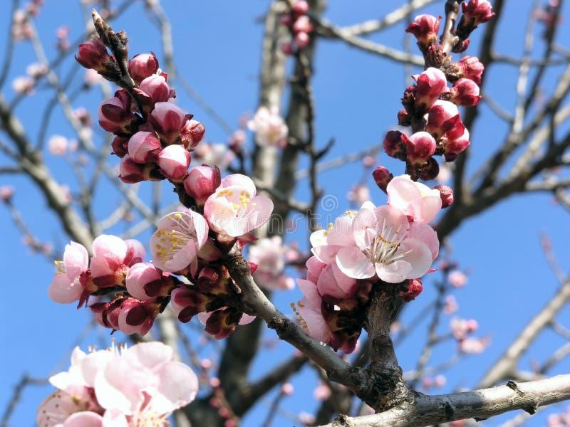 Flor do alperce fotografia de stock royalty free