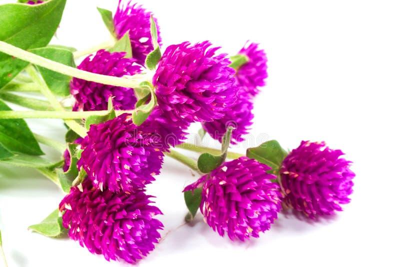Flor do amaranto de globo imagens de stock royalty free