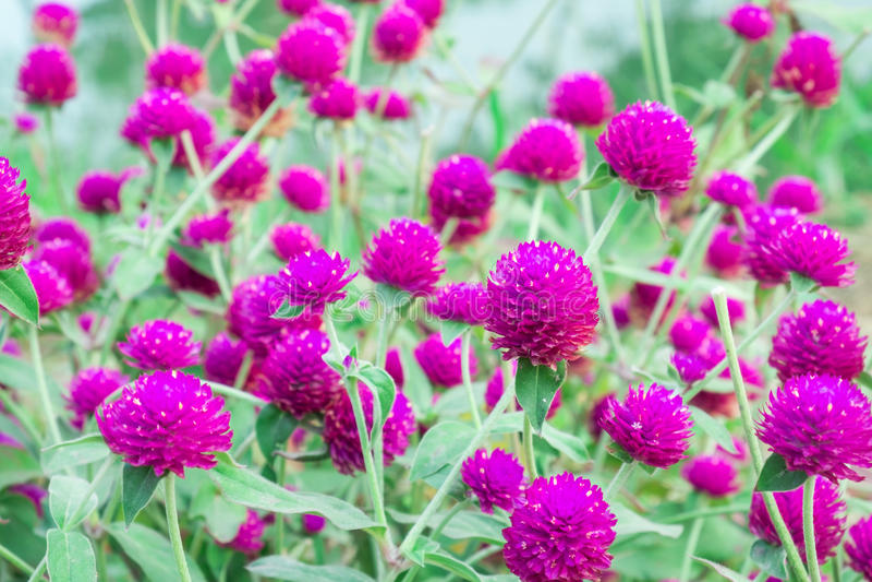 Flor do amaranto de globo imagem de stock
