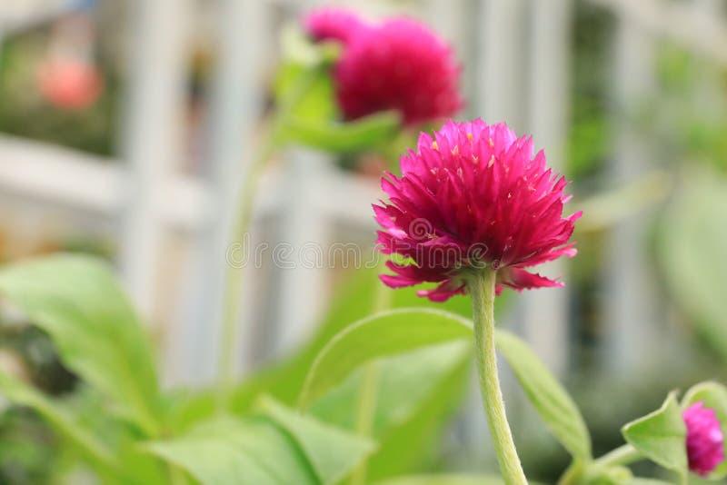 Flor do amaranto de globo ou botão roxo do licenciado, flor de globo imagens de stock