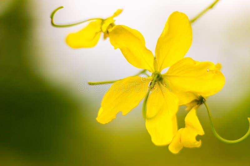 flor do amarelo do  do ¹ do à bonita fotos de stock royalty free