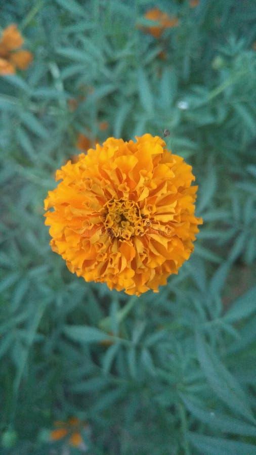 Flor do amarelo da flor de Genda foto de stock