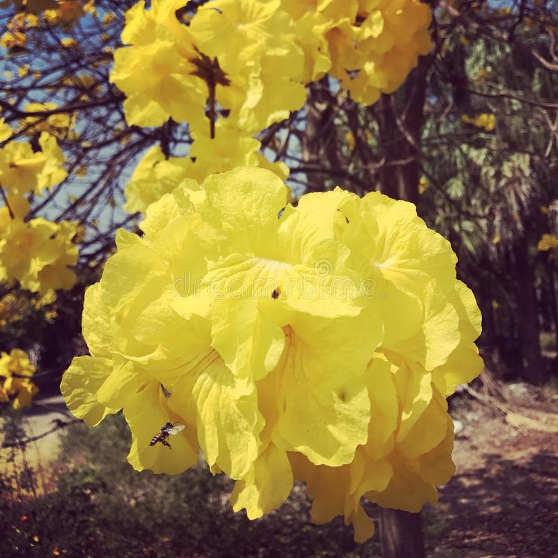 Flor do amarelo de Tabebuia fotos de stock royalty free