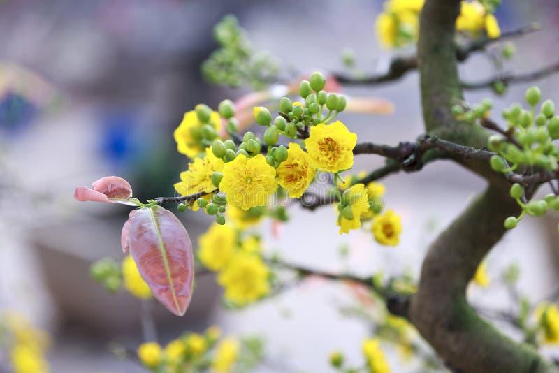 Flor do amarelo de Tet em Hanoi imagem de stock
