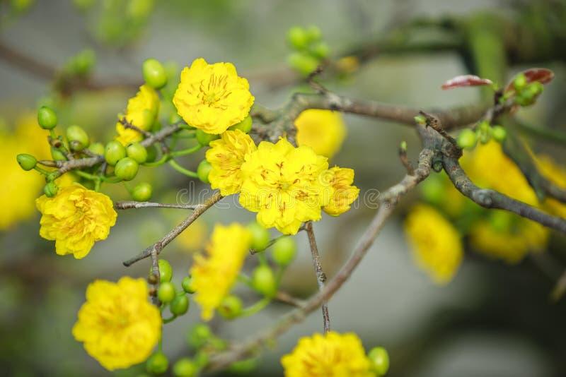 Flor do amarelo de Tet em Hanoi imagem de stock royalty free