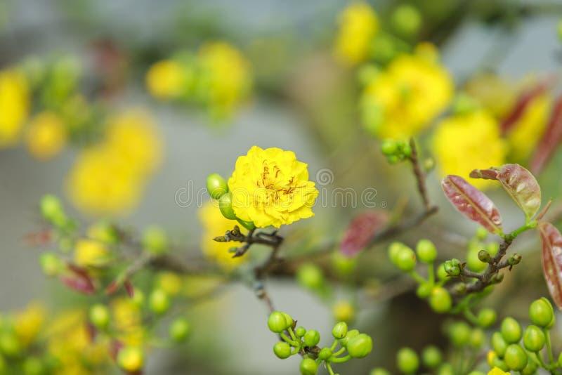 Flor do amarelo de Tet em Hanoi fotos de stock royalty free