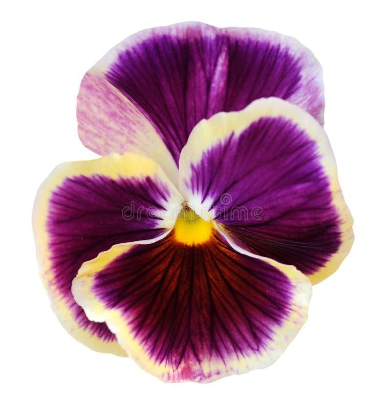 Flor do amor perfeito fotografia de stock royalty free