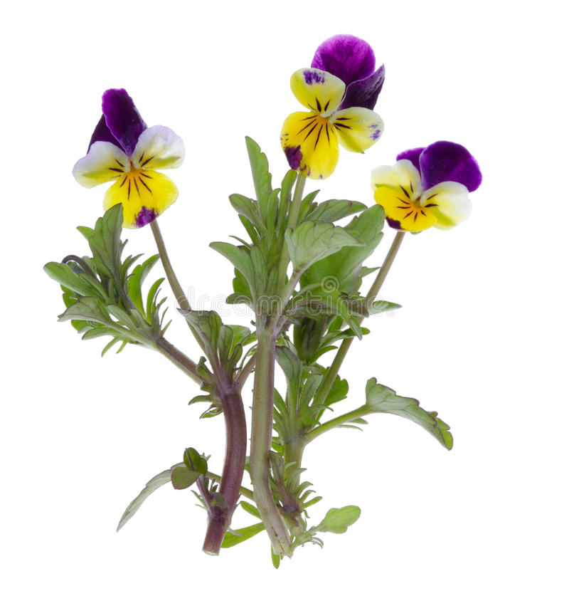 Flor do amor perfeito isolada fotos de stock royalty free