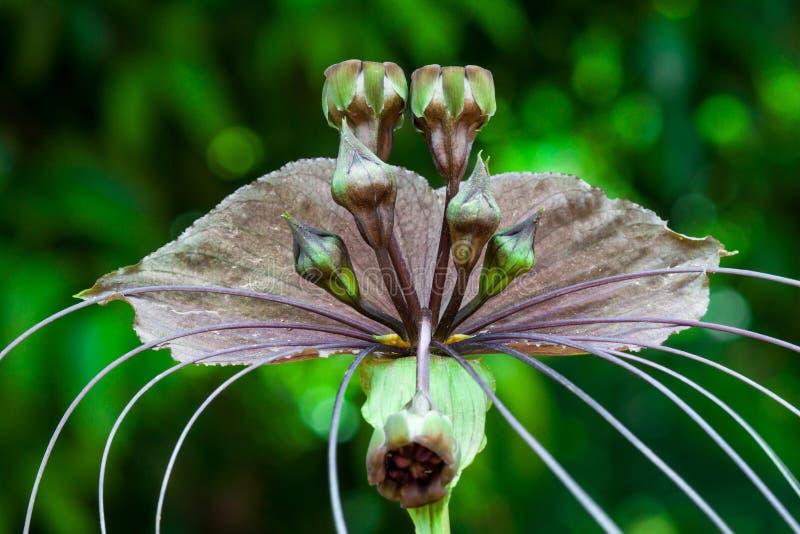 Flor do bastão ou flor do diabo fotografia de stock royalty free