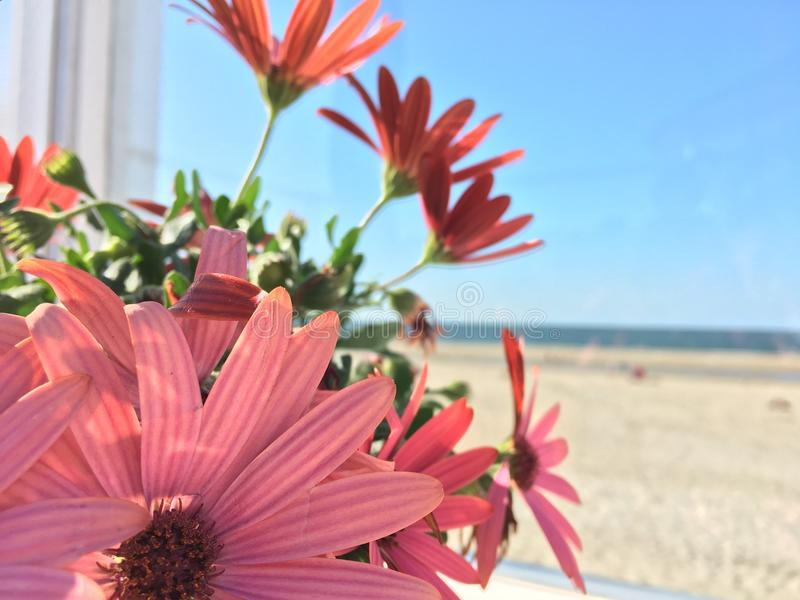 Flor do bipinnatus do cosmos no beira-mar imagem de stock royalty free