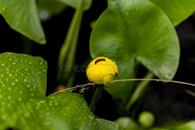 Flor do bladderwort aquático fotos de stock royalty free