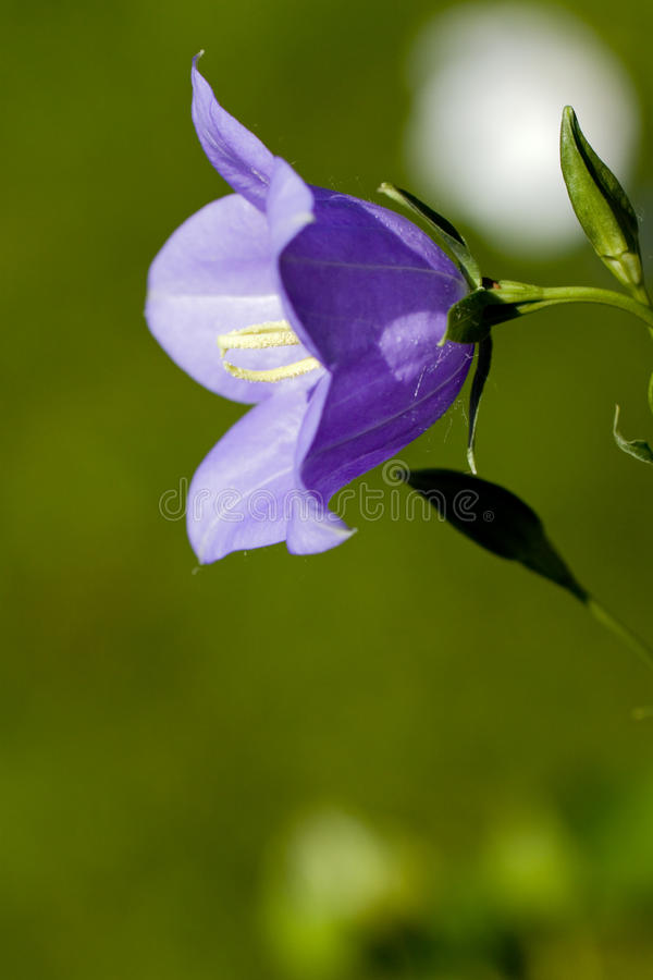 Flor do Bluebell no jardim fotografia de stock royalty free
