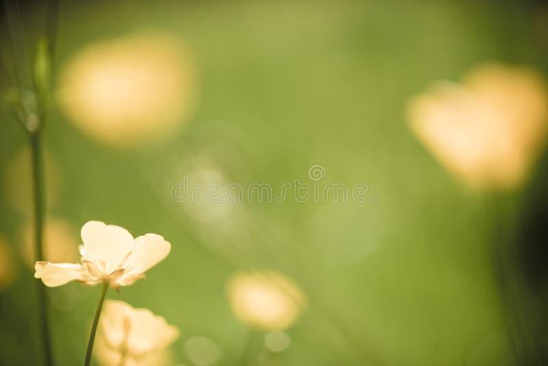A flor do botão de ouro está florescendo imagem de stock royalty free
